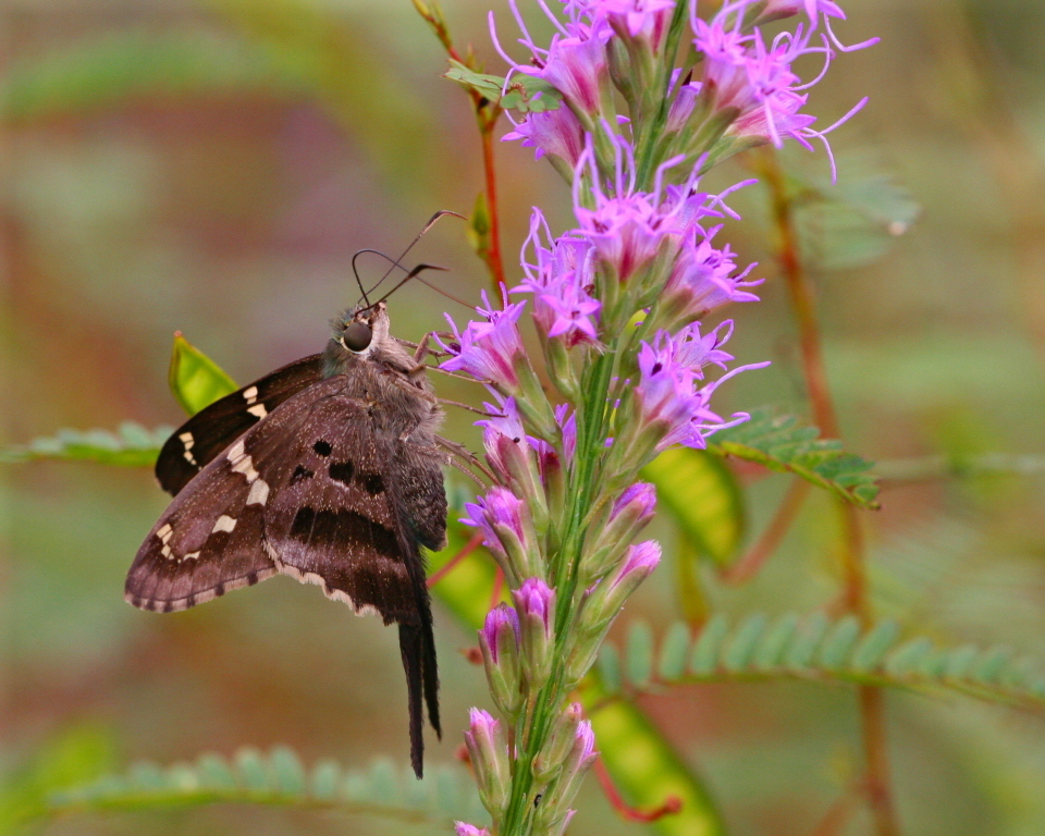 Image of Long-tailed Skipper