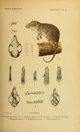 Image of <i>Phascogale penicillata</i>