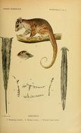 Image of <i>Dromiciops australis</i> (Philippi 1893)