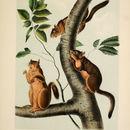 Image of Douglas's Squirrel