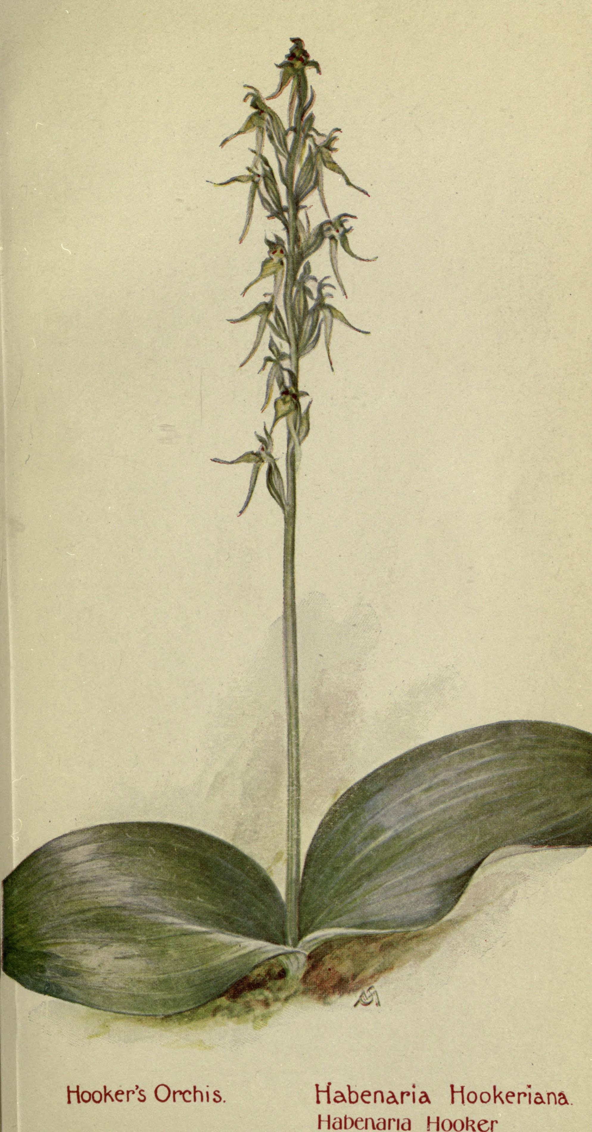 Image of <i>Habenaria hookeriana</i>