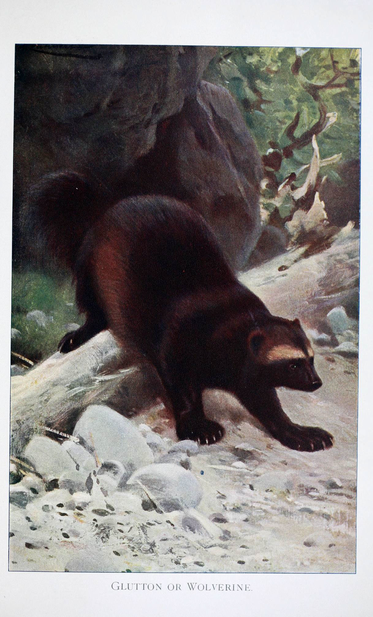 Image of Wolverine