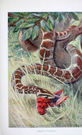 Image of Asiatic rock python