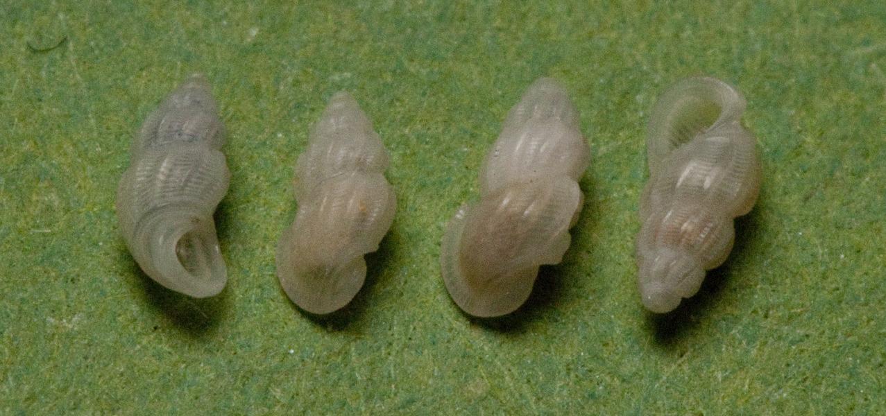 Image of <i>Manzonia crassa</i> (Kanmacher 1798)