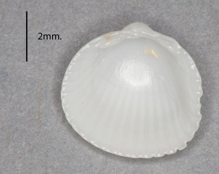 Image of <i>Papillicardium papillosum</i> (Poli 1791)