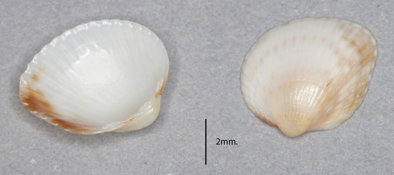 Image of <i>Parvicardium pinnulatum</i> (Conrad 1831)