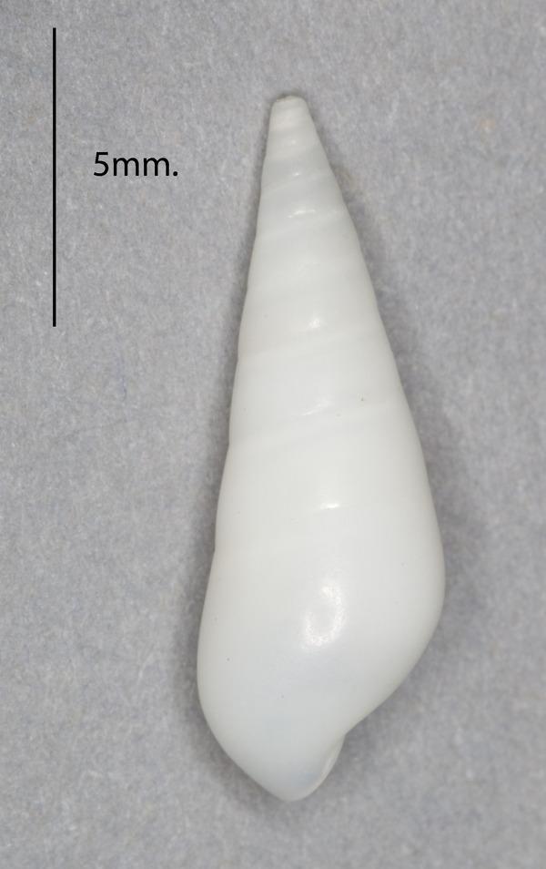 Image of <i>Melanella alba</i> (da Costa 1778)