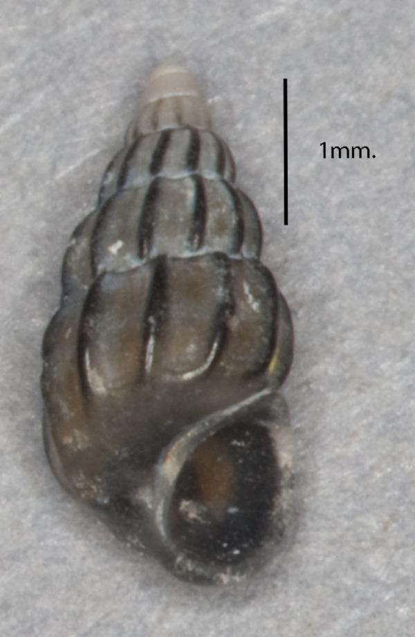 Image of <i>Rissoa guerinii</i> Récluz 1843