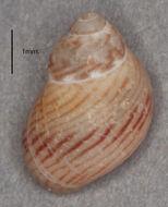 Image of <i>Tricolia pullus picta</i> (da Costa 1778)