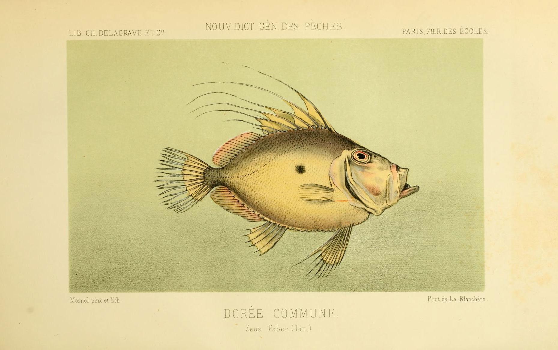 Image of John Dory