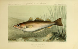 Image of Asellus