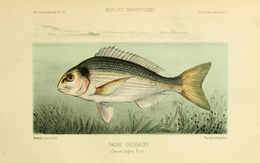 Image of Common Sea Bream