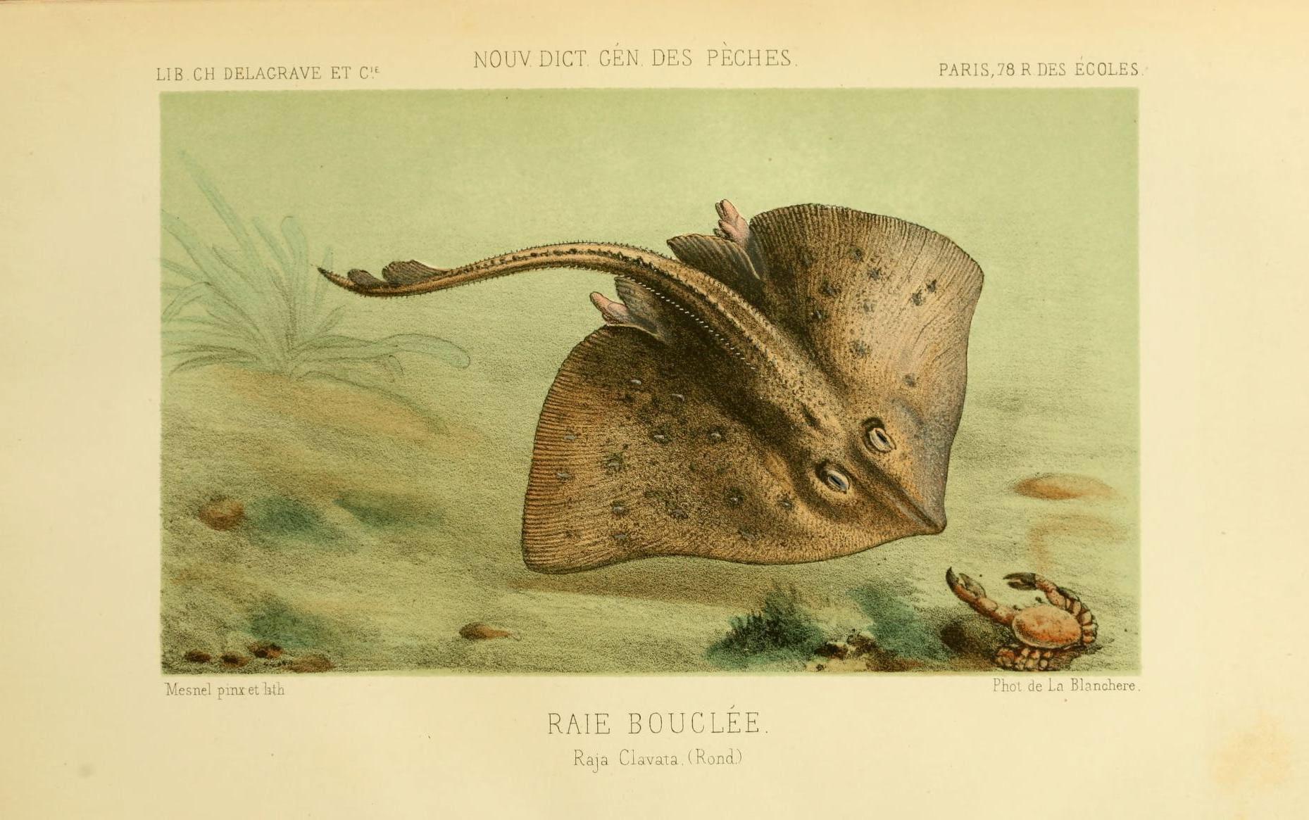 Image of Thornback skate