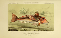 Image of East Atlantic Red Gurnard