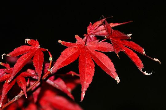 Image of Japanese maple