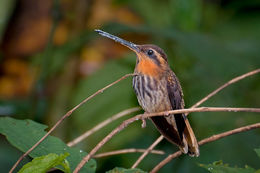 Image of Saw-billed hermit