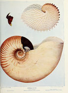 Image of <i>Allonautilus scrobiculatus</i> (Lightfoot 1786)