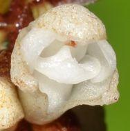 Image of Fern-leaf Orchid