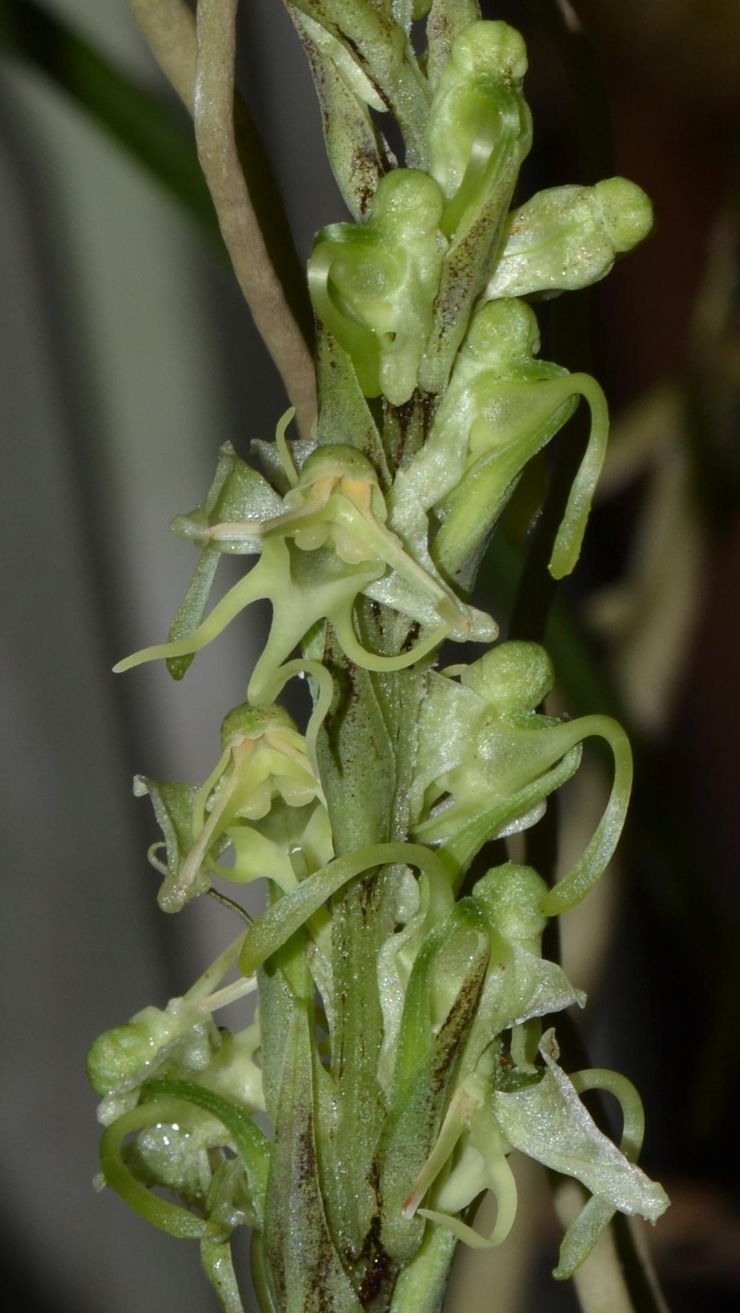 Image of <i>Habenaria kingii</i> Hook. fil.