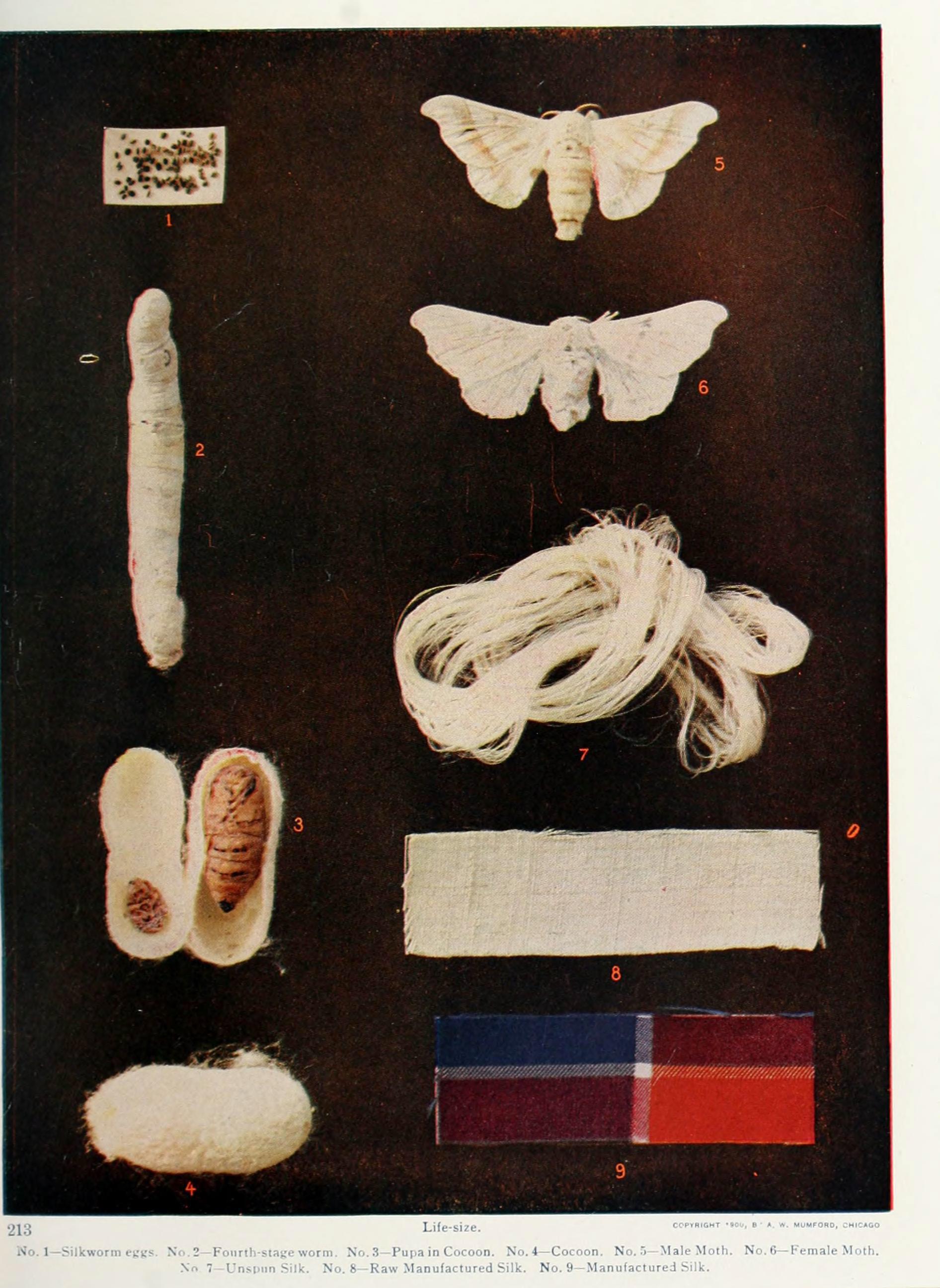 Image of <i>Bombyx mori</i> Linnaeus 1758