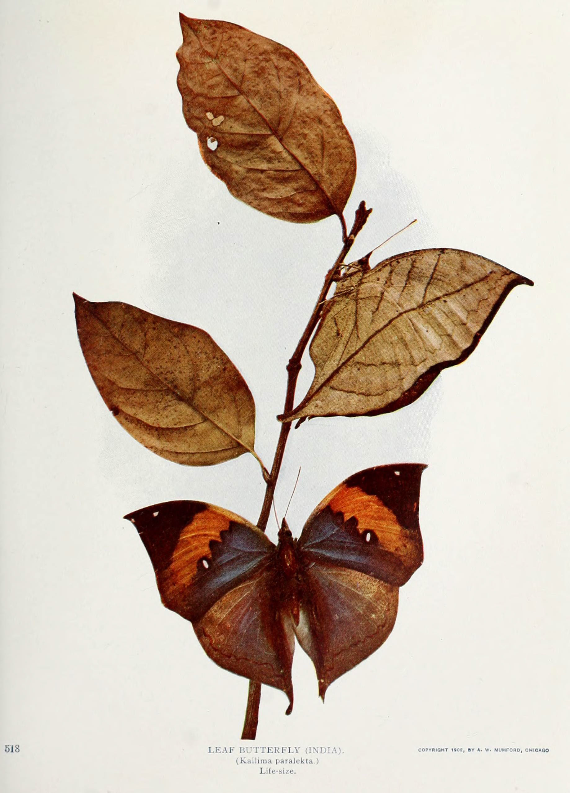 Image of Indian leafwing