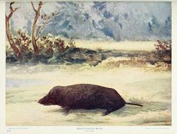 Image of eastern mole