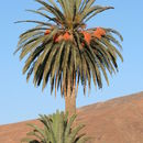 Image of date palm