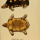 Image of Red-footed Tortoise