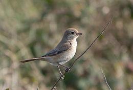 Image of Isabelline Shrike