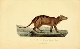Image of Tasmanian wolf