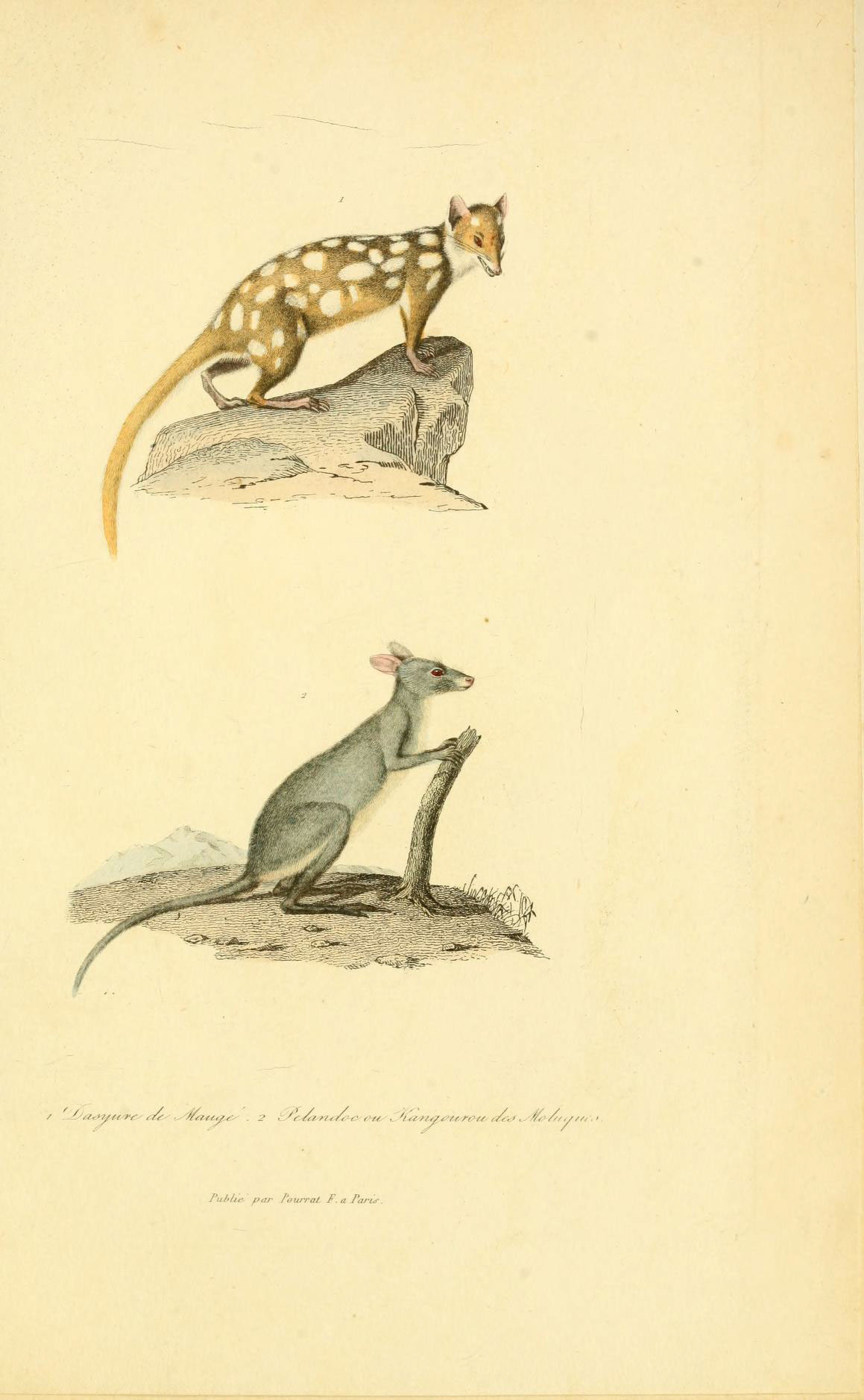 Image of Quoll