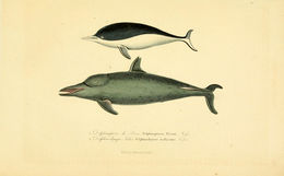 Image of Right whale dolphin