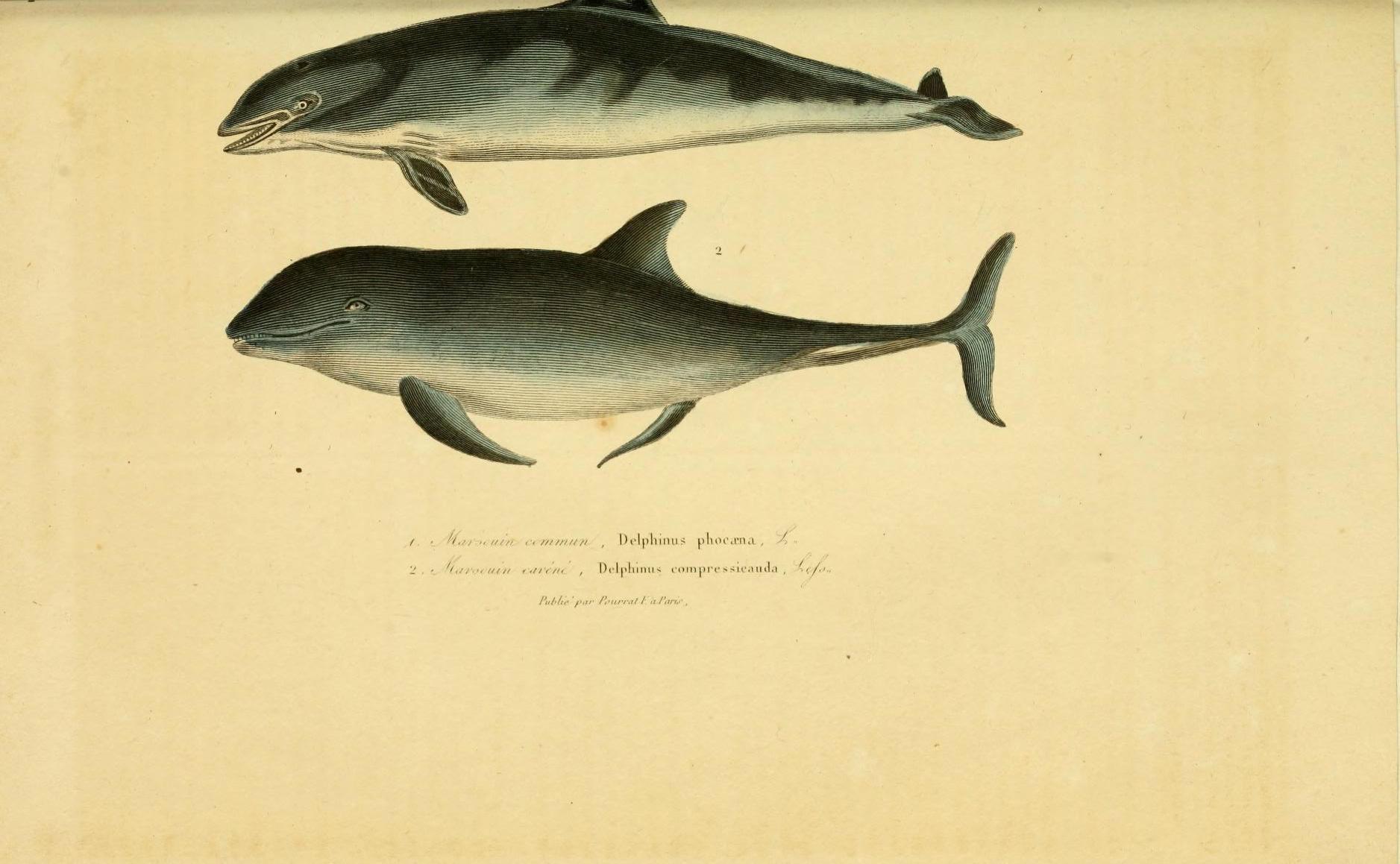 Image of Common porpoises