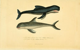 Image of pilot whale