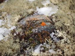 Image of <i>Caloplaca biatorina</i> (A. Massal.) J. Steiner