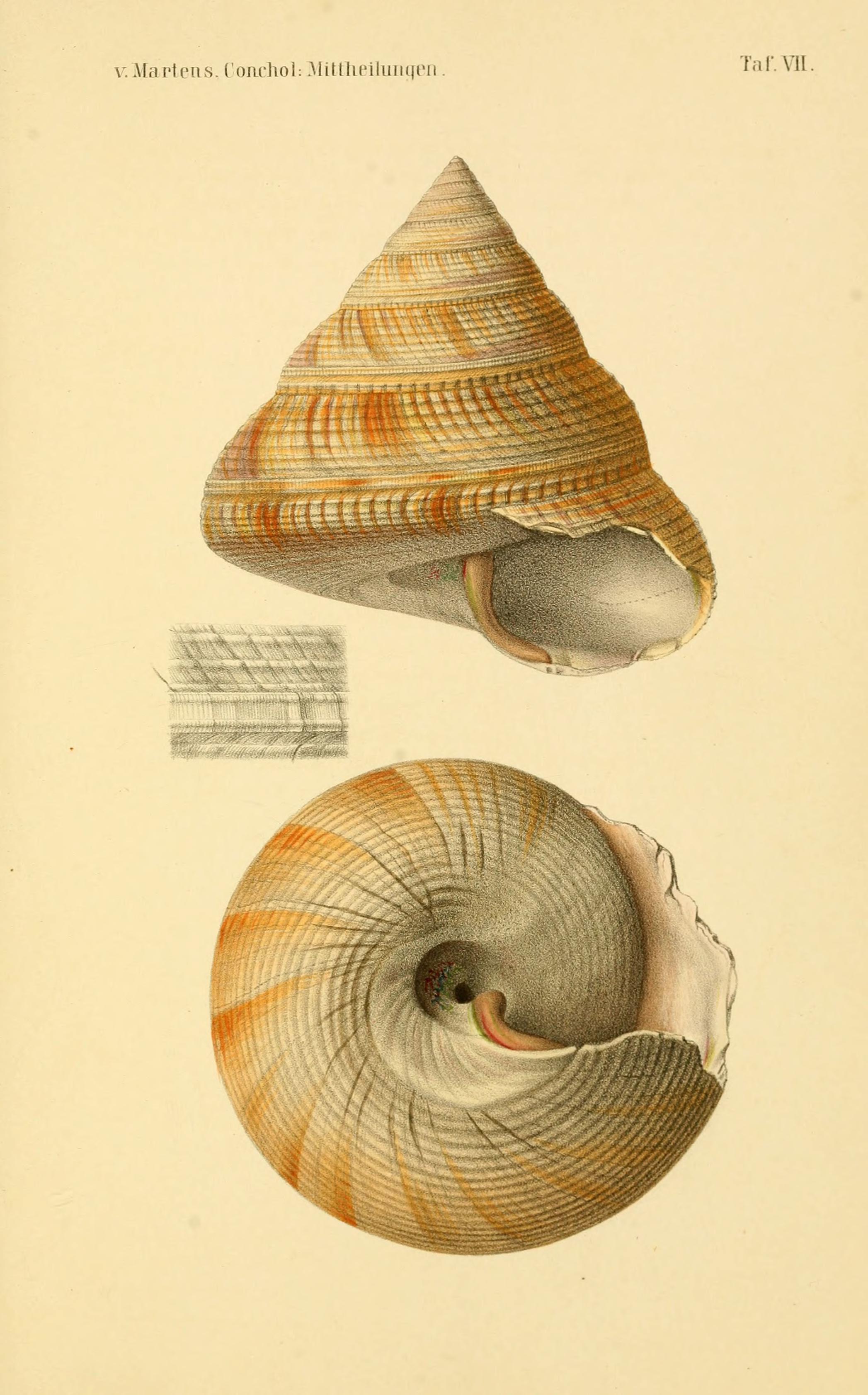 Image of <i>Mikadotrochus beyrichii</i> (Hilgendorf 1877)