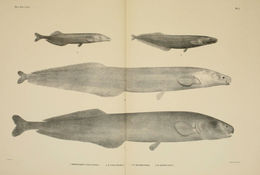 Image of <i>Mormyrops engystoma</i> Boulenger 1898