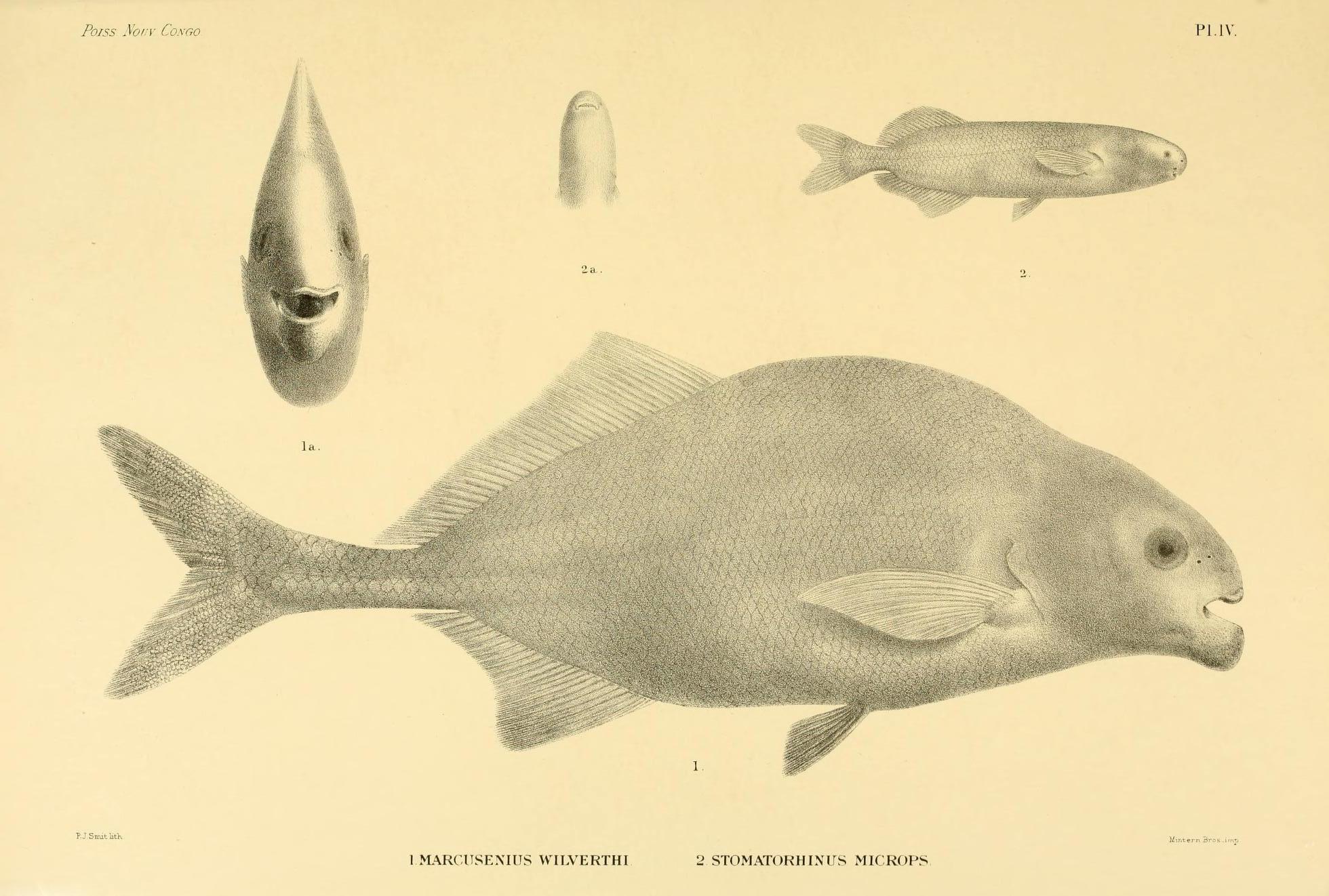 Image of <i>Hippopotamyrus wilverthi</i> (Boulenger 1898)