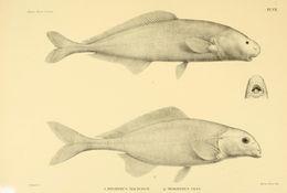 Image of <i>Myomyrus macrodon</i> Boulenger 1898