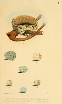 Image of Samoan Fantail