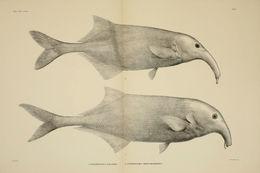 Image of <i>Campylomormyrus elephas</i> (Boulenger 1898)
