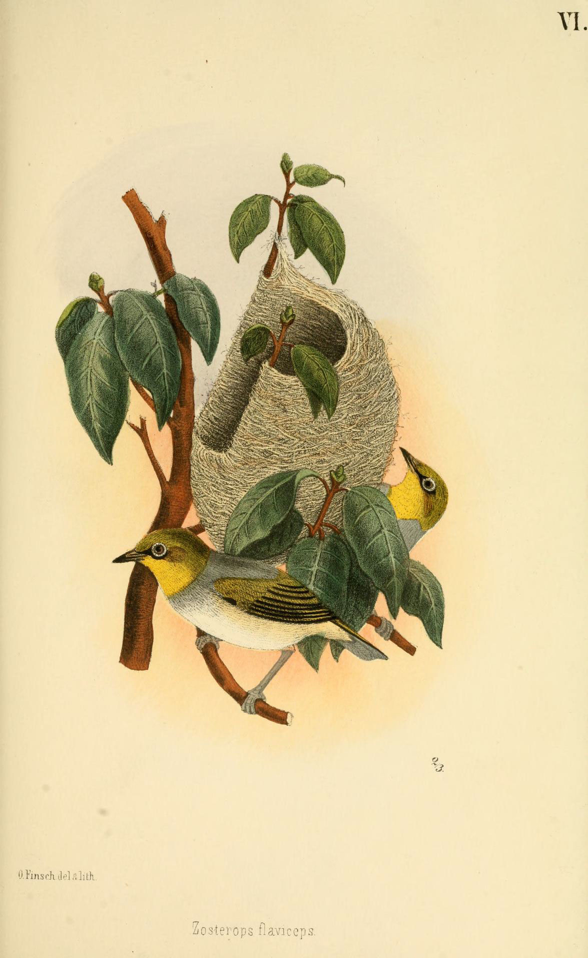 Image of <i>Zosterops lateralis flaviceps</i> Peale 1849