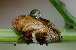Image of <i>Bathyllus albicinctus</i> (Erichson 1842)