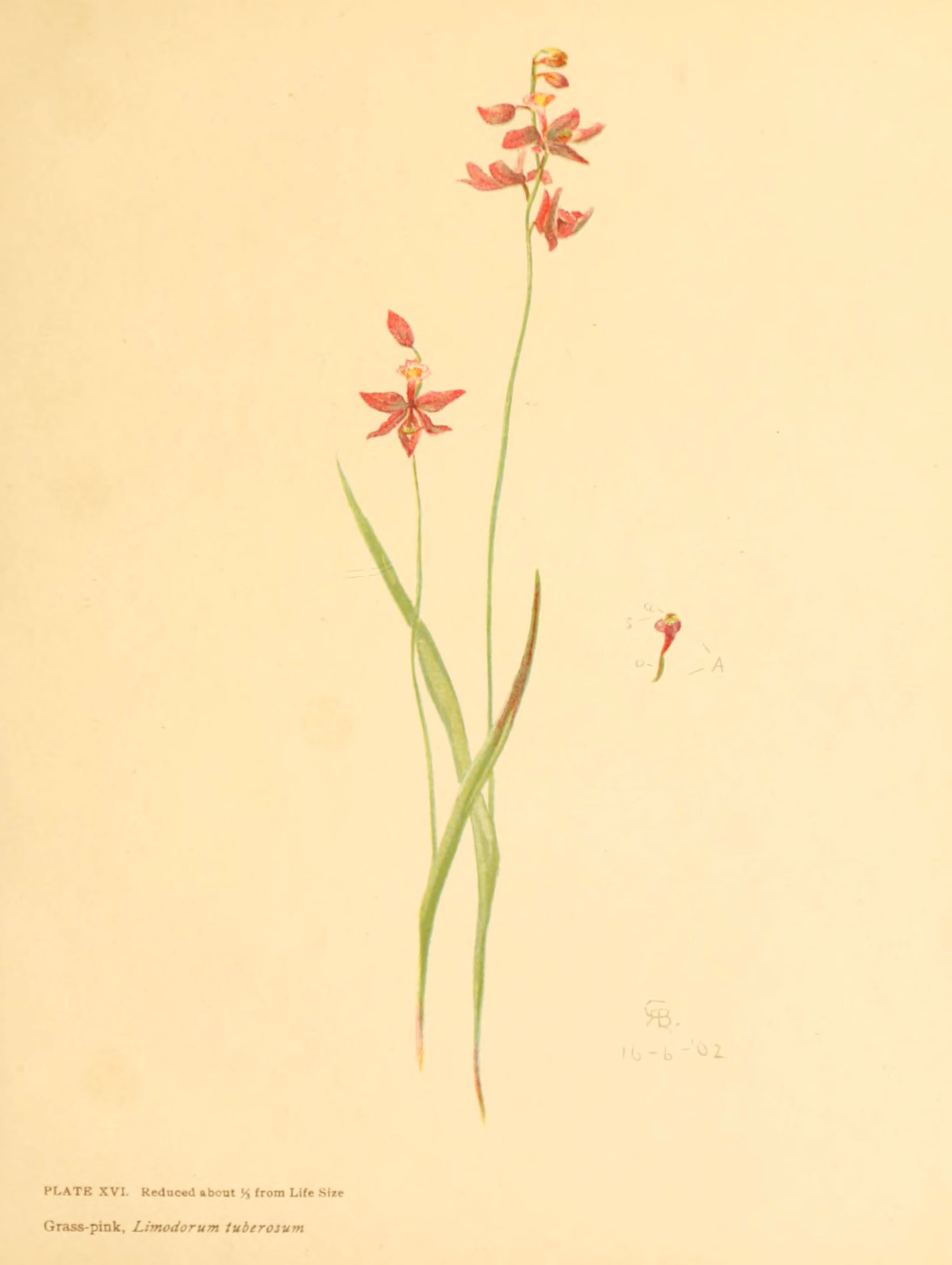 Image of tuberous grasspink