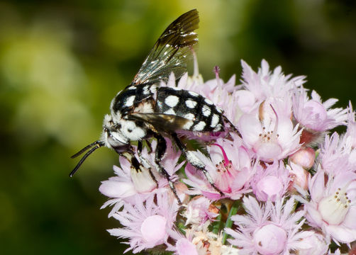 Image of Domino cuckoo bee