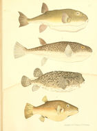 Image of Few-spined Porcupinefish