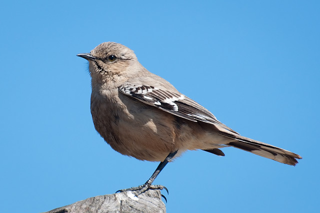 Image of Patagonian Mockingbird