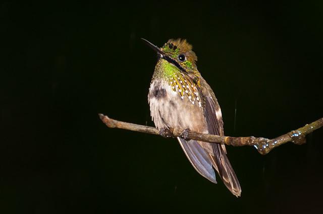 Image of <i>Lophornis <i>chalybeus</i></i> chalybeus (Temminck 1821)