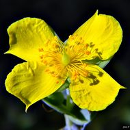 Image of four-petal st. johns wort