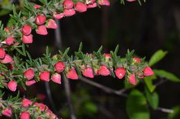 Image of Tall Boronia